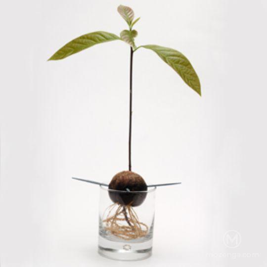 Fabuloso Como plantar abacate em casa? : Mozenga - Inteligência coletiva IS19