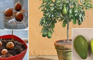 Como plantar abacate em casa?