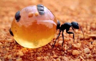 Conheça as incríveis formigas Pote-de-Mel