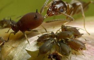 Impressionante: Formigas criam pulgões como humanos domesticam gado