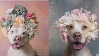 Artista Sophie Gamand fotografa pit bulls com florais para mostrar seu lado suave e incentivar adoção